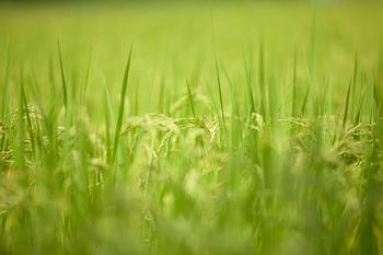 asuhaku-about-rice-stalk.jpg